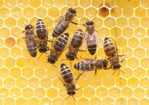 So sehen Bienen aus